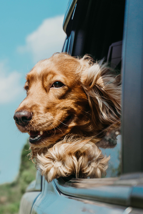 Smiling golden retriever dog with head outside car window.